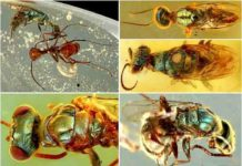Diverse structural-colored insects in mid-Cretaceous amber from northern Myanmar. Credit: NIGPAS