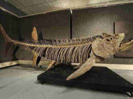 The fossilized remains of this Xiphactinus - similar to the one found in Argentina - was discovered in the US state of Kansas and sold at auction in 2010