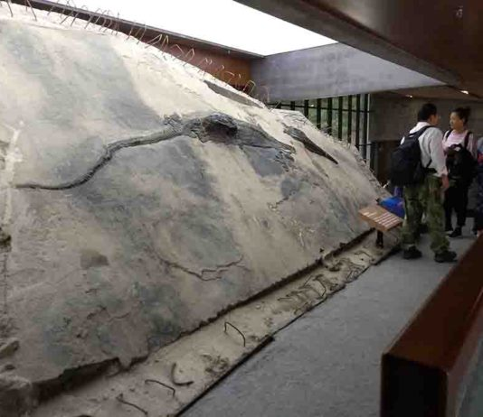 The ichthyosaur specimen with its stomach contents visible as a block that extrudes from its body. Credit: Ryosuke Motani