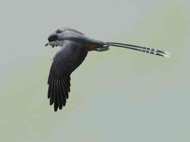 Life reconstruction of the fossil bird Confuciusornis, one of the first beaked birds. Confuciusornis was roughly the size of a crow. It is known from hundreds of beautifully-preserved fossils, found in Early Cretaceous rocks from northeastern China. Credit: Gabriel Ugueto
