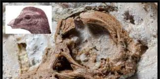 The Titanosaurian embryo skull along with a skull and head reconstruction. Credit: Kundrat et al. /Current Biology