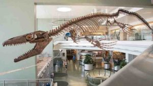A skeletal mount of the mosasaur 'Gnathomortis stadtmani' at BYU's Eyring Science Center. USU Eastern paleontologist Josh Lively named the giant marine lizard that roamed the oceans of North America toward the end of the Age of Dinosaurs. Courtesy BYU.
