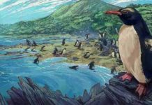 The dawn crested penguin Eudyptes atatu in New Zealand, three million years ago. Image by Simone Giovanardi. Permission for use of the image for a press release is granted by the artist. Credit: Massey University