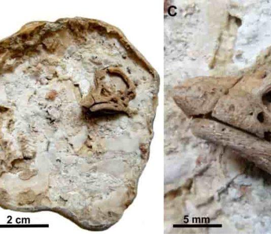 Sauropod Embryo. Credit: University of Manchester