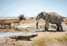 A crocodile next to a mastodon of the genus Anancus and primitive horses of the genus Hipparion in a similar environment to what could have been Valencia six million years ago. Credit: José Antonio Peñas (SINC)