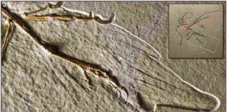 Altmühl specimen of Archaeopteryx, showing the dorsal surface of the right wing.