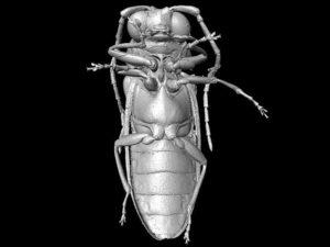 Micro-CT reconstruction of Mysteriomorphus pelevini Credit: D. Peris & R. Kundrata et al. / Scientific Reports