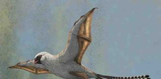 This illustration shows a reconstruction of Ambopteryx in a glide. Credit: Gabriel Ugueto