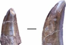 Teeth of a large dinosaur, possibly Metriacanthosauridae, from the Liuhuanggou site in the southern Junggar basin. Scale: 1 cm. Credit: University of Tübingen