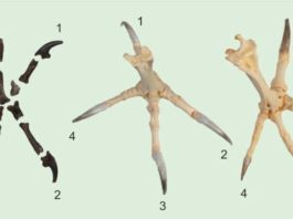 Similar to present-day diurnal birds of prey (right), the talons on the hind toe and the second toe of Primoptynx poliotauros (left) are noticeably larger than the talons on the third and fourth toe. In modern owls (center) all four talons are roughly the same size.