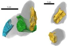CT scan of coprolite specimen, BRSMG Cf15546, in different views, showing tuberculated bone (blue) from a fish skull, and two vertebrae from the tail of the marine reptile Pachystropheus, in yellow and green. Credit: Marie Cueille, and Palaeobiology Research Group, University of Bristol