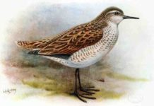 The extinct Kiritimati Sandpiper, Prosobonia cancellata - a close cousin of the newly discovered Prosobonia sauli. Credit: George Edward Lodge, 1907