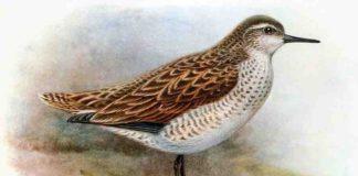 The extinct Kiritimati Sandpiper, Prosobonia cancellata - a close cousin of the newly discovered Prosobonia sauli. Credit: George Edward Lodge, 1907