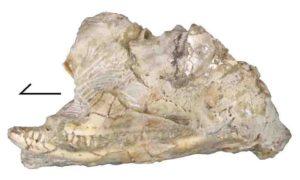 Kopidosaurus perplexus skull in left lateral view. Credit: Simon Scarpetta