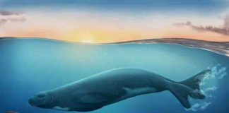An artist impression of the newly discovered extinct monk seal species Credit: Jaime Bran. Copyrigh: Museum of New Zealand Te Papa.