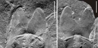 Nearly complete exoskeleton (left) and cranidium (right) of Phantaspisauritus gen. et sp. nov. Credit: NIGPAS