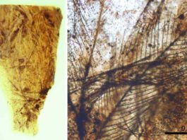 Amber piece from the site of San Just with dinosaur feather remains. Credits: S. Álvarez Parra et al. Scientific Reports