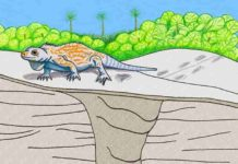 Illustration shows a cross section of the prehistoric iguana burrow, and how the surrounding landscape may have looked during the Late Pleistocene Epoch. Credit: Anthony Martin.
