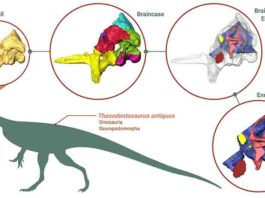 Braincase and endocast of Thecodontosaurus antiquus. From CT scans of the braincase fossil, 3-D models of the braincase and the endocast were generated and studied. Credit: Created by Antonio Ballell with BioRender, Thecodontosaurus silhouette from PhyloPic.org.