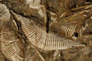 Professor Cathryn Newton studies Middle Devonian marine faunas (such as these brachiopods from 380-390 million years ago), whose fossils are lodged in a unit of bedrock in Central New York. Credit: Syracuse University