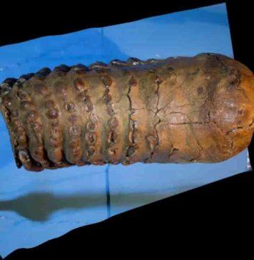 1.2 million year old mammoth tooth from the Krestovka mammoth. Credit: Pavel Nikolskiy