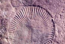Fossil of Dickinsonia, an Ediacaran-era animal. (Mary Droser/UCR)