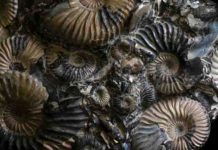 These fossil ammonites have lost their outer coating of shell, revealing the iridescent nacre beneath. Now extinct, ammonites were a group of marine mollusks that first appeared about 409 million years ago, persisting until the extinction event that wiped out the dinosaurs about 66 million years ago. Credit: Florida Museum photo by Jeff Gage