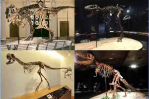 "Skeletons of four tyrannosaurid specimens tested in the study. Clockwise from above left: adult Tyrannosaurus rex ""Sue"" (FMNH PR 2081) (Field Museum of Natural History, Chicago, IL; photo by the Field Museum), juvenile Tyrannosaurus rex ""Jane"" (BMRP 2002.4.1) (Burpee Museum of Natural History; photo by A. Rowe), adult Tarbosaurus bataar (Dinosaurium exhibition, Prague, Czech Republic; photo by R. Holiš) and Raptorex kriegsteini skeletal reconstruction (LH PV18) (Long Hao Institute of Geology and Paleontology, Hohhot, Inner Mongolia, China; photo by P. Sereno). Credit: Listed in caption. Final image by Andre Rowe"
