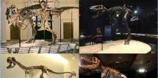 """Skeletons of four tyrannosaurid specimens tested in the study. Clockwise from above left: adult Tyrannosaurus rex """"Sue"""" (FMNH PR 2081) (Field Museum of Natural History, Chicago, IL; photo by the Field Museum), juvenile Tyrannosaurus rex """"Jane"""" (BMRP 2002.4.1) (Burpee Museum of Natural History; photo by A. Rowe), adult Tarbosaurus bataar (Dinosaurium exhibition, Prague, Czech Republic; photo by R. Holiš) and Raptorex kriegsteini skeletal reconstruction (LH PV18) (Long Hao Institute of Geology and Paleontology, Hohhot, Inner Mongolia, China; photo by P. Sereno). Credit: Listed in caption. Final image by Andre Rowe"""