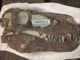 """""""Hollywood"""" specimen, same species as Teratophoneus, discovered approximately two miles north of the """"Rainbows and Unicorns Quarry"""" on Grand Staircase-Escalante National Monument. Credit: U.S. Bureau of Land Management"""