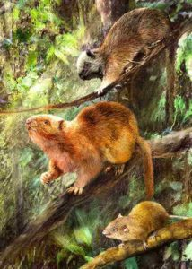 Illustration showing how the three new species of fossil cloud rats might have looked. Credit: © Velizar Simeonovski, Field Museum.