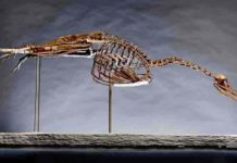 Hesperornis image provided by the Yale Peabody Museum of Natural History. (Photo: Robert Lorenz)Hesperornis image provided by the Yale Peabody Museum of Natural History. (Photo: Robert Lorenz)