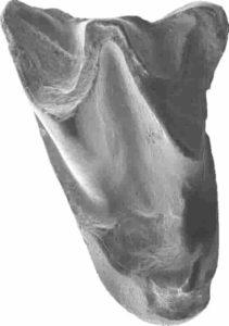 Upper molar of Altaynycteris aurora. Credit: Li Qiang