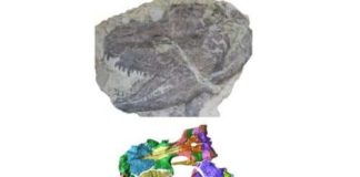Skull fossils of amphibian. Credit: Field Museum of Natural History, Chicago