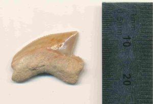 Fossilised Squalicorax tooth Nr. #07815 from the Jerusalem site. Credit: Omri Lernau