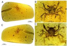Fig. 1. Cretapsara athanata Luque gen. et sp. nov., a modern-looking eubrachyuran crab in Burmese amber. (A to D) Holotype LYAM-9. (A) Whole amber sample with crab inclusion in ventral view. (B) Close-up of ventral carapace. (C) Whole amber sample with crab inclusion in dorsal view. (D) Close-up of dorsal carapace. White arrows in (B) and (D) indicate the detached left fifth leg or pereopod. Photos by L.X. Figure by J.L.