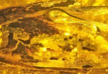 Eograminis balticus