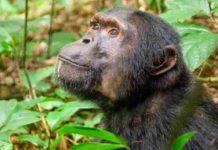 A chimpanzee in Kibale National Park, Uganda.