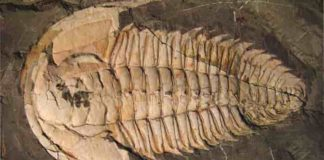 A trilobite fossil, Redlichia rex found at Emu Bay, Kangaroo Island – a marine creature that lived over 500 million years ago during the Cambrian period. Credit: Macquarie University